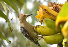 Woodpecker Hoffmann есть банан Стоковые Фото