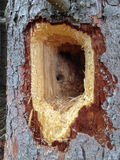 Woodpecker Hole Royalty Free Stock Photos