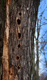 Woodpecker hole Stock Images