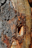 Woodpecker hole in tree Stock Photography