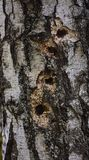 Woodpecker holes in birch tree close up Stock Images