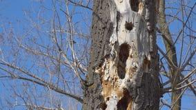 Woodpecker holes in dry tree. Woodpecker holes in a dry tree stock video footage
