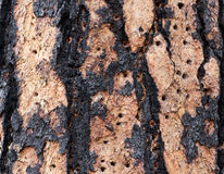 Woodpecker Holes In Tree. A ponderosa pine tree trunk damaged by woodpecker holes stock photos