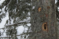 Woodpecker holes in a large tree. Close-up of two big deep holes in large tree trunk made by woodpecker. Branches covered by snow. Winter season Stock Image