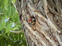 The woodpecker in the hollow. Stock Images