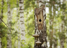 Woodpecker hollow in the dry birch Stock Photos