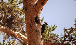 Woodpecker. Stock Photo