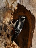 Woodpecker on a  hollowed trunk Stock Photos