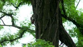 Woodpecker hollows a tree. In a city park Mariupol, Ukraine stock video