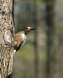 Woodpecker II Stock Images