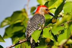 Woodpecker inchado vermelho Fotos de Stock Royalty Free