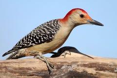 Woodpecker inchado vermelho 2 imagens de stock