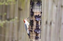 Woodpecker inchado vermelho Fotografia de Stock Royalty Free