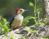 Woodpecker inchado vermelho imagens de stock