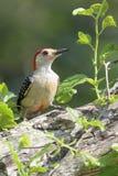 Woodpecker inchado vermelho imagem de stock