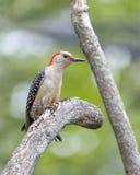 Woodpecker inchado vermelho fotografia de stock