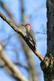 Woodpecker inchado vermelho selvagem na luz morna do por do sol Fotos de Stock Royalty Free