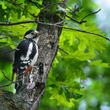 Woodpecker with insect in its beak Royalty Free Stock Image