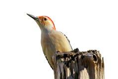 Woodpecker isolado Fotos de Stock Royalty Free