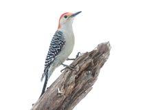 Woodpecker isolado em uma filial imagem de stock royalty free