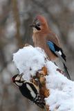 woodpecker jay Стоковые Изображения RF