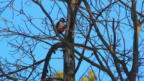 Woodpecker knocking on tree. Dry branches on blue sky. Bird on dry tree stock footage