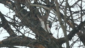 Woodpecker knocks trunk of the tree finding insects stock video