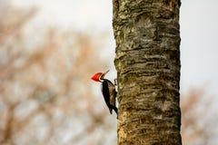 Woodpecker Lineated на хоботе дерева Стоковая Фотография RF