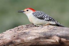 Woodpecker on a Log Stock Photos