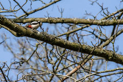 Woodpecker looking for food in a tree Royalty Free Stock Photos