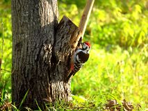 Woodpecker looking for insect prey on the tree trunk. Woodpecker looking for insect prey on the trunk stock photography