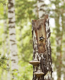 Woodpecker looks out from a hollow in the old birch Stock Images