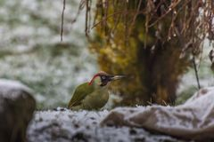 Woodpecker looks. Small woodpecker in winter looks at the camera royalty free stock photo