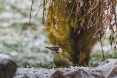 Woodpecker looks in winter. And garden stock image