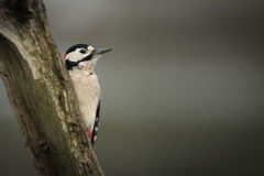 Woodpecker Stock Photo