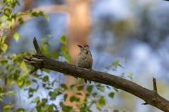 Woodpecker manchado Fotografia de Stock Royalty Free