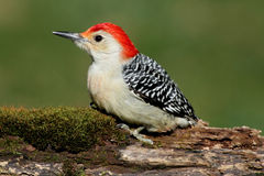 Woodpecker on a Moss covered Log Royalty Free Stock Photography