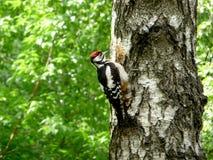 Woodpecker na árvore Fotos de Stock Royalty Free