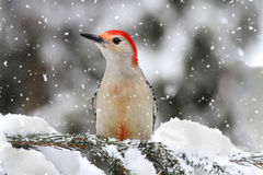 Woodpecker na neve Fotos de Stock