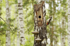 Woodpecker near a hollow into the dry birch Stock Images