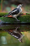 Woodpecker Near The Water Stock Photos