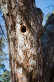 Woodpecker nest in apple tree Stock Photography