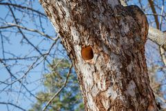 Woodpecker nest in apple tree Stock Image
