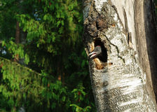 Woodpecker nestling Stock Photo