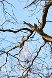 Woodpecker on old oak branch Royalty Free Stock Photography