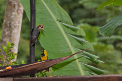 Woodpecker and Oriole Royalty Free Stock Photography