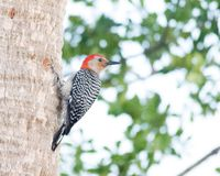 Woodpecker - Over the Shoulder. Red-bellied woodpecker perched on the side of a palm tree in Brevard County, FL stock images
