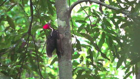 Woodpecker over trunk in super slow-motion stock footage