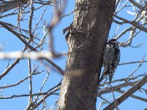 woodpecker fotos de archivo