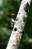 Woodpecker Pecking Stock Images